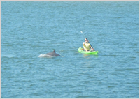 NO fear . . . a dolphin splashes about with a kayaker