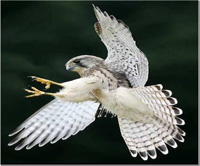 Imagem1 aguia branca
