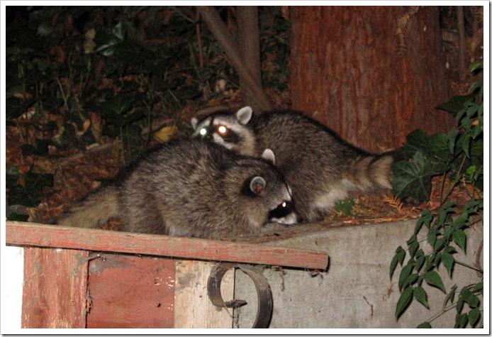 Waschbären die beiden kleinen spielen