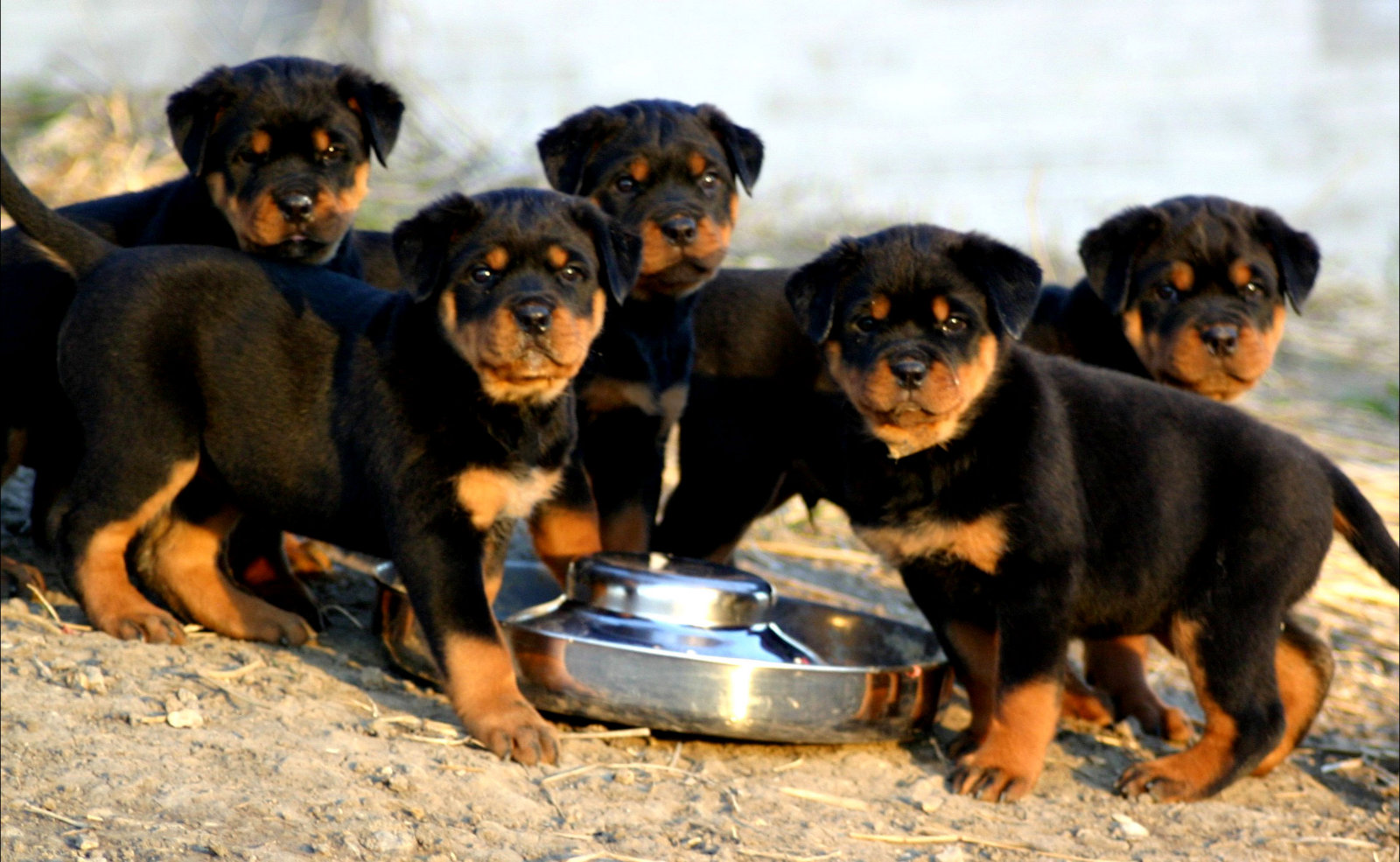 /Bubbles___Rottweiler_Puppies_by_RiotGirl102793.jpg?psid=1[/img