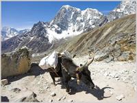 Yak, Nepal
