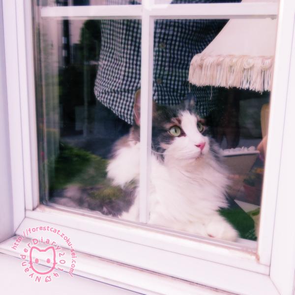 猫 ノルウェージャンフォレストキャット