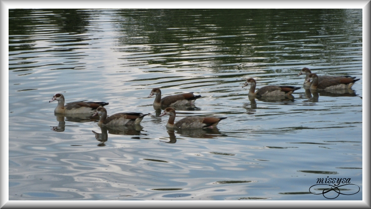 Les canards - Page 8 -animaux23