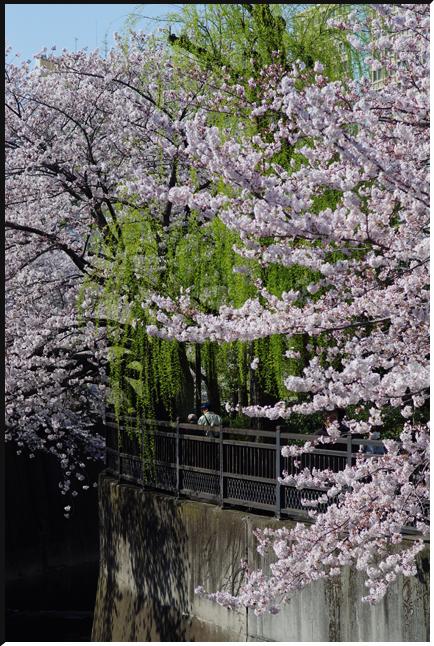 hanami_120408_02.jpg