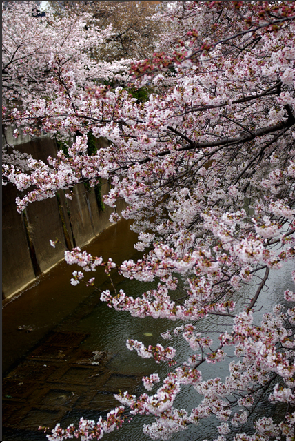 sakura_090404_02.jpg