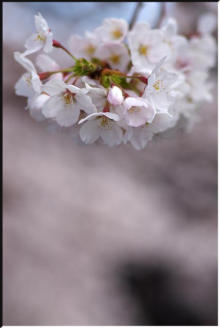 hanami_120407_03.jpg