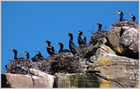 Cormorants on Shieldaig Island