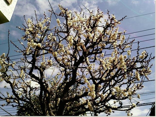 梅の木02