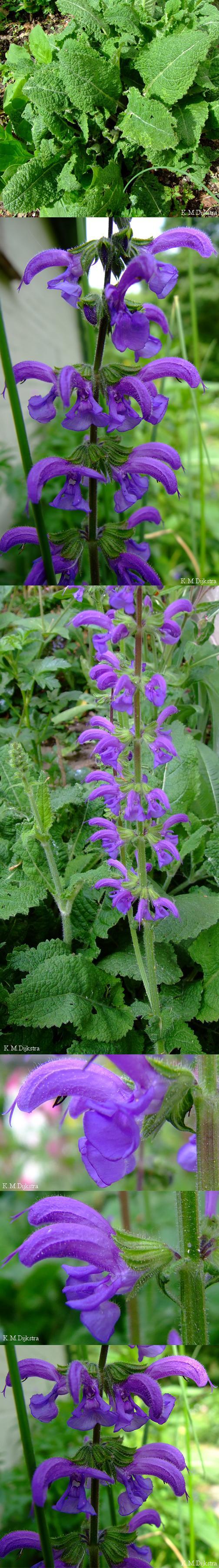 Veldsalie - Salvia pratensis