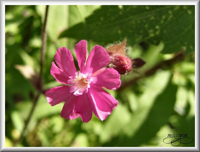 Fleurs et plantes sauvages - Page 2 -fleur%2027