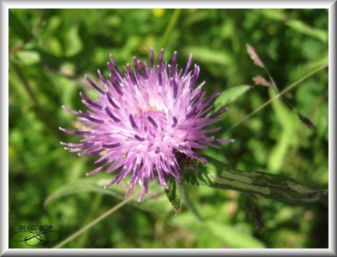 Fleurs et plantes sauvages - Page 2 -fleur%2028