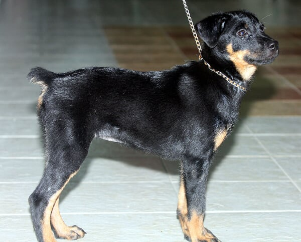 Rottweiler mix Doberman | Pet Shop, Pet Service, Puppy, Cat, Dog, Pet ...