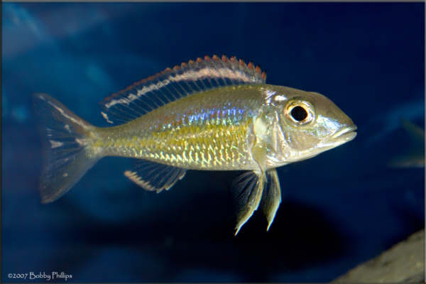 tribute to some of our favorites * - EastCoastCichlids