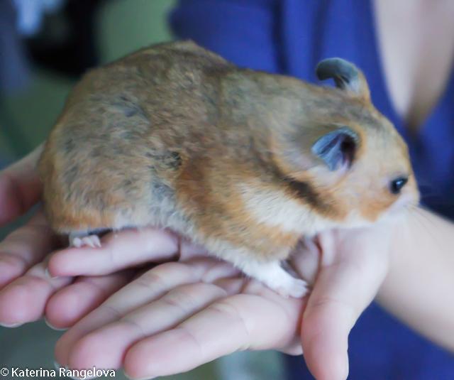hamsterka