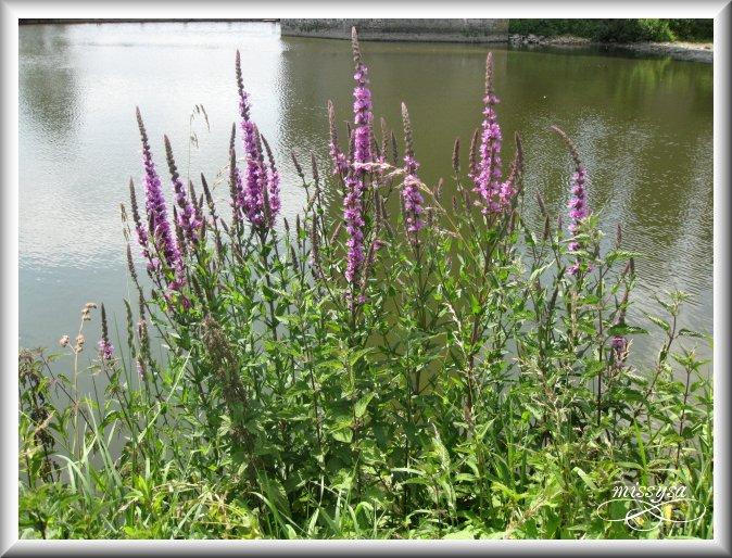Fleurs et plantes sauvages - Page 2 -divers%2013