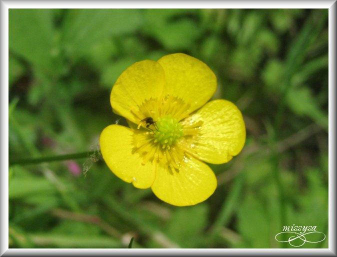 Fleurs et plantes sauvages - Page 2 -fleur%2029
