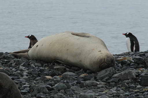 南極 アザラシ
