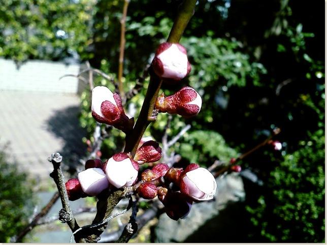 梅つぼみ01